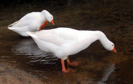 bending down: 2 patos blancos 1, patos blancos en el borde de un r�o, se inclinaba para beber