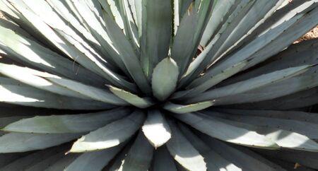 yucca: Yucca closeup 3,  closeup of a yucca plant