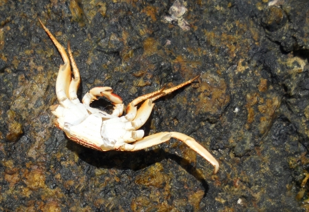 exoskeleton: dead crab on rock, the incomplete exoskeleton of a small crab, upside-down on a rock surface Stock Photo