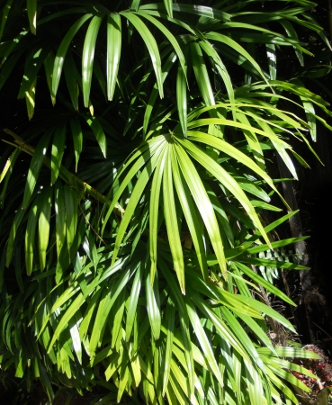 tropical leaves 2, sunlight on the leaves of a tropical garden plant  Asia  Stock Photo