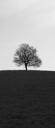 tree black and white, a single small tree in spring  UK