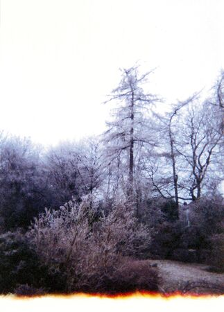 trees9, larches and smaller trees with frost in winter, UK
