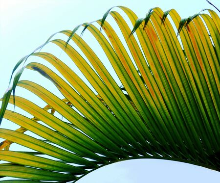 palm leaf , stunning closeup of a palm leaf in yellows and green Stock Photo