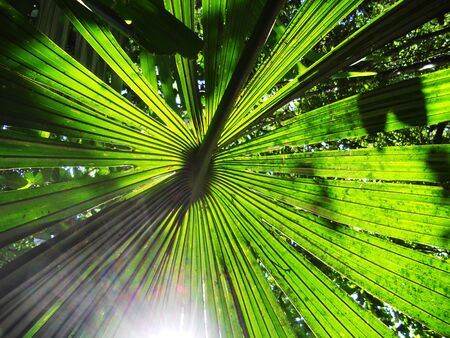 palm leaf, sunlight through a fan-shaped palm leaf, in the Malaysian jungle  Asia  Stock Photo
