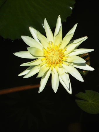 waterlilly: yellow waterlilly1, A single yellow waterlilly  lotus , on dark water  Asia