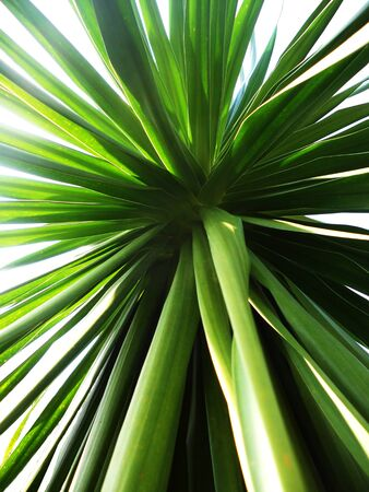 living things: yucca8, A view of the center of a green Yucca  Beautiful nature abstract