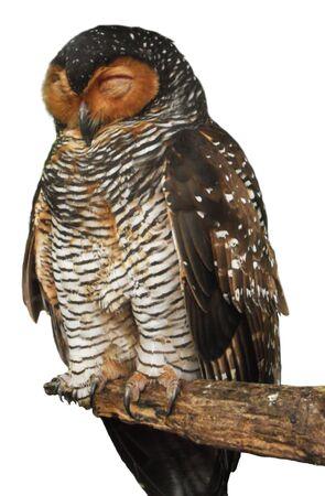 a large bird of prey: gufo, una grande specie gufo, ritagliato cut-out su uno sfondo bianco
