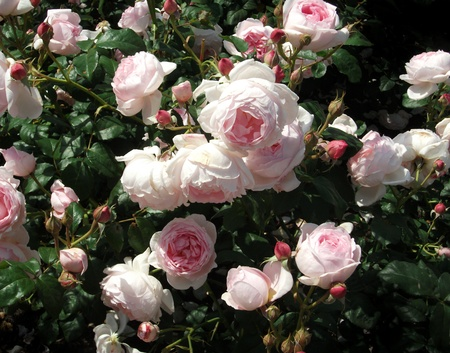 Albertine roses 1, pink Albertine roses in a garden in the sunlight