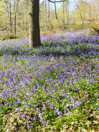 bluebell wood 28, bluebells in a sunny spring forest sunlight, Surrey, UK
