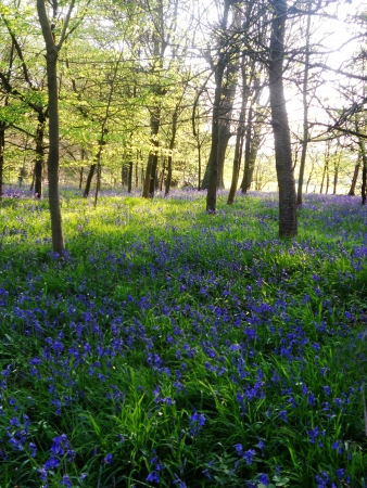 bluebell wood 85, bluebells in shady spring forest, Surrey, UK