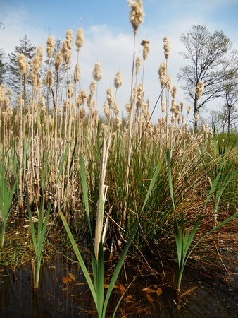 rushes: bull rushes 2, Bull rushes growing wild in a small forest pond, Surrey, UK Stock Photo