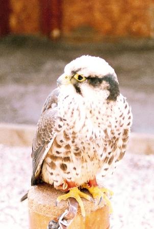 captive: falcon captive 2, a captive falcon on a block Stock Photo