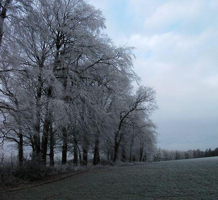 hoar frost: hoar frost on beech trees 2, a row of beech trees with hoar frost, winter  UK