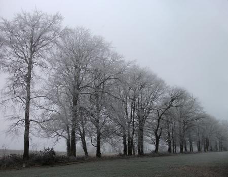 hoar frost: hoar frost on beech trees, a row of beech trees with hoar frost, winter  UK