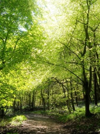 sunlit beeches 4,  spring beech trees with warm sunlight  Surrey, UK  Stock Photo