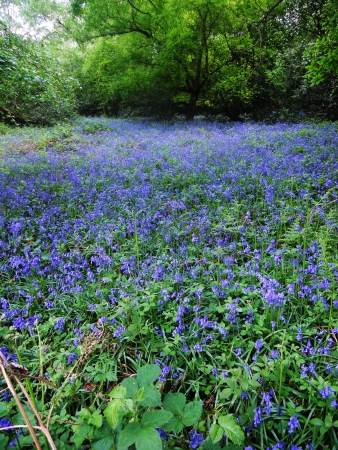 deciduous woodland: bluebell wood 96, British bluebells growing in open deciduous woodland