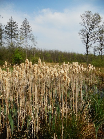 rushes: bull rushes, Bull rushes growing with coniferous forest in the background  UK