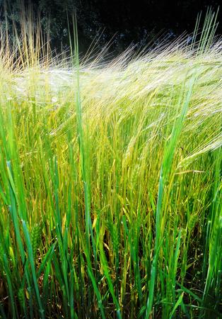 Barley growing in sunlight 2, closeup of a field of young barley growing in the sunlight