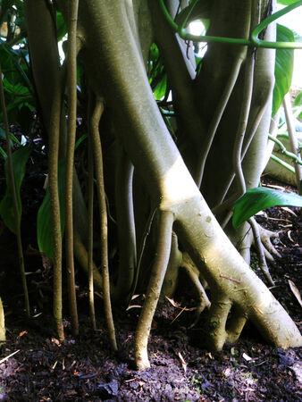 tropical tree: ra�ces del �rbol tropicales, ra�ces y troncos de un �rbol tropical de Kew Gardens casa tropical, Londres, Reino Unido Foto de archivo