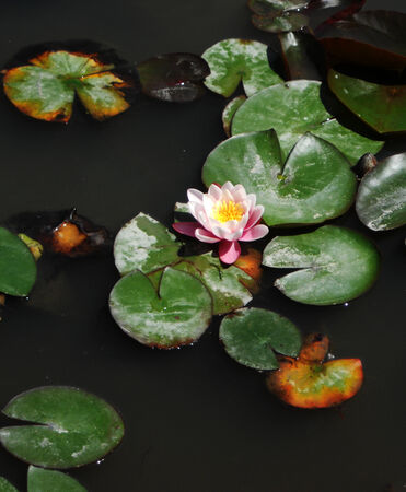 waterlilly: Waterlilly 2, waterlilly flower and leaves on water