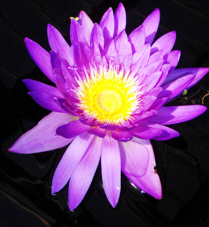 waterlilly: Waterlilly 5, purple waterlilly flower  lotus  against dark water