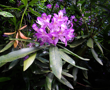 natue: rhododendron flower, purple rhododendron flower growing in the UK Stock Photo