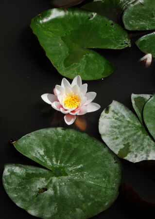 Waterlilly 1, beautiful lotus flower and leaves in a dark pond Stock Photo