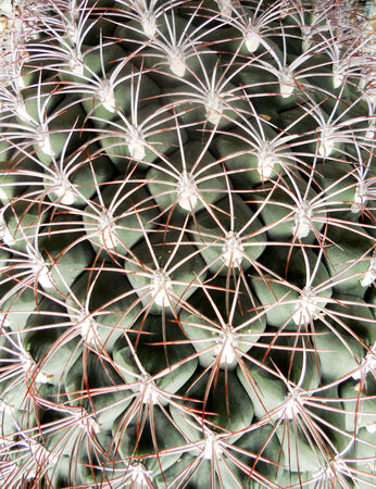 spines: cactus texture, closeup of cactus spines Stock Photo