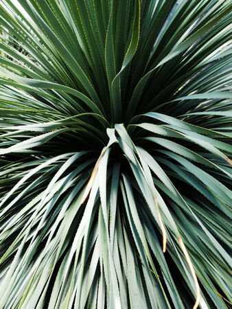 closeup of the leaves of a Yucca plant
