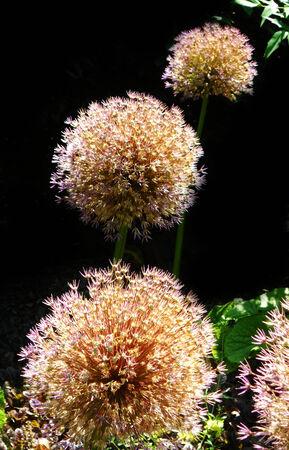 globular: flowers, beautiful globular flower heads in a garden, UK against a dark background