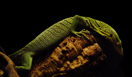 green lizard, a small green lizard on a branch, side view against a dark background