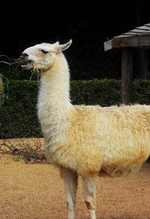 captive: a captive white Llama