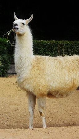 captive: Llama, a captive white Llama