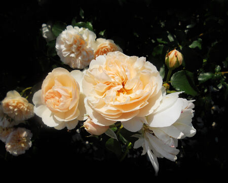 orange roses, a group of pale orange rose flowers in the sun, UK Stock Photo
