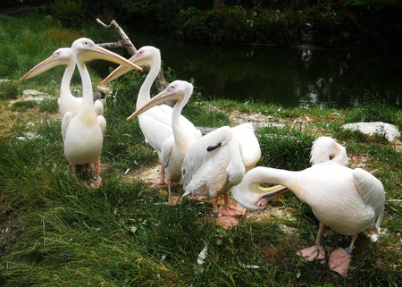 Pelicans 3, a group of American White Pelicans Banco de Imagens