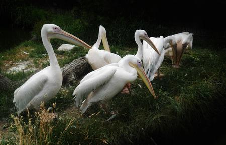 Pelicans, a group of pelicans
