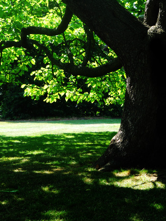large tree: tree in sunlight, closeup of part of a large tree with sun and shade Stock Photo