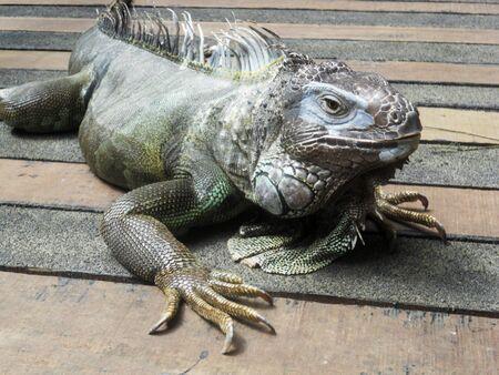 トカゲ イグアナ
