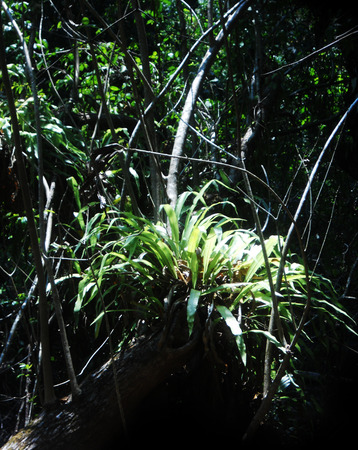 epiphyte: epiphyte in Asian jungle Stock Photo