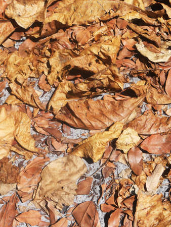 dode bladeren: dode tropische bladeren, veel dode bladeren op de grond in Zuid-Oost-Azië Stockfoto