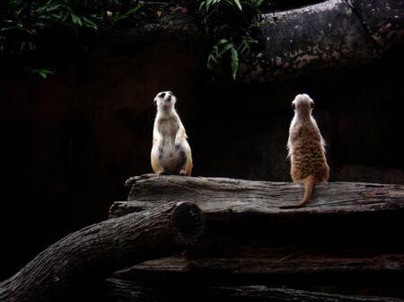 looking around: Meerkats, two alert Meerkats looking around