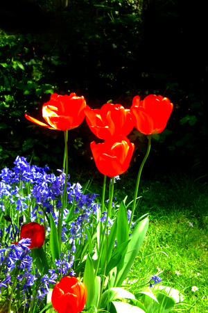 tulips and bluebells in an English suburban garden