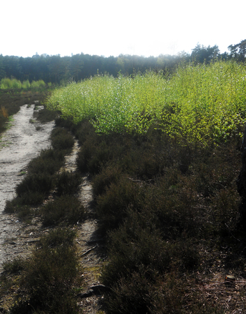 Heathland, Surrey, UK with a sand track, heather and spring Silver Birch growth Stock Photo