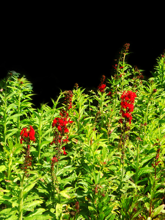 flower border with scarlet flowers and bright green leaves