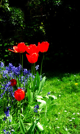 flower border with red tulips and bluebells (Surrey UK) Stock Photo