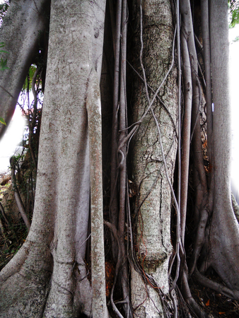 tropical tree roots Stock Photo