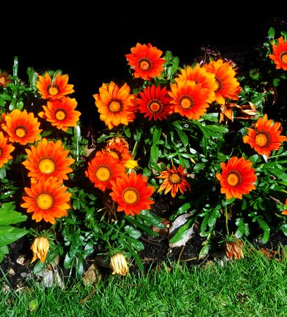 Orange flowers in a flower border (UK)
