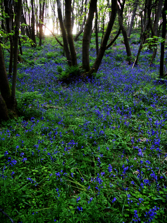 bluebell woods: bluebell wood, Surrey, UK, bluebells growing in a woodland (England) Stock Photo