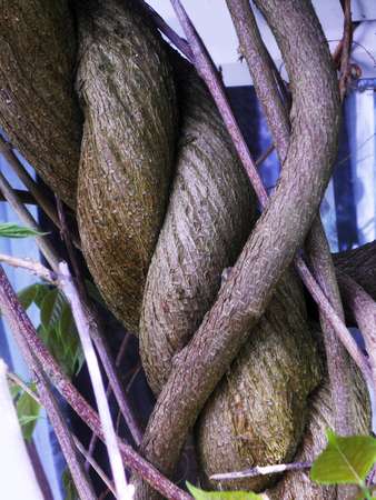 Spiral wood growth, the spiral growth of a woody stem of Wisteria