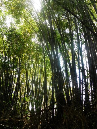 arboleda: Bamboo grove